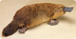 Platypus_Australia