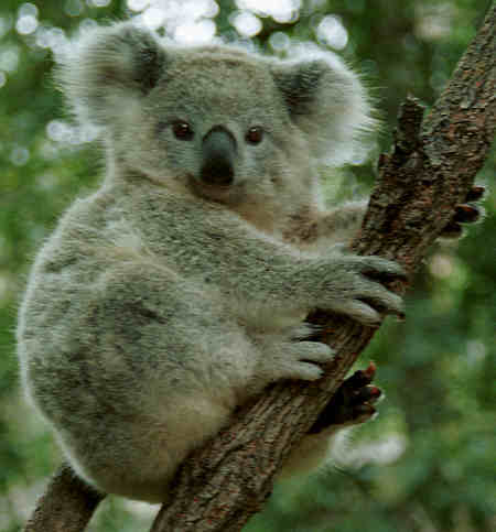 Koala_Australia
